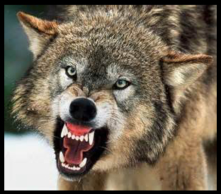 Picture of snarling wolf